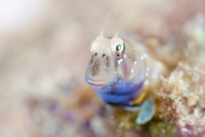 The blenny males look after the eggs - but sometimes eat them