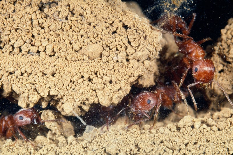 When tunnelling some ants do none of the work - turns out that's a good strategy