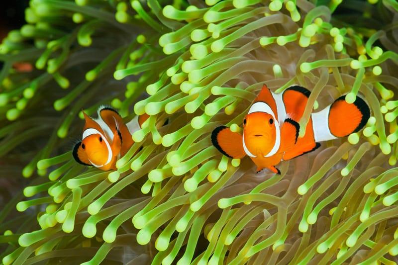 Clownfish and a sea anemone