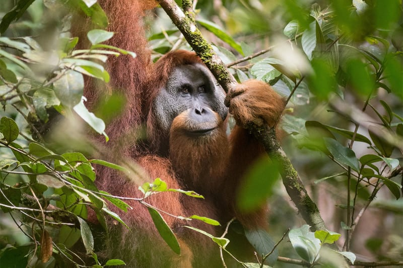 Hydroelectric projects threaten Indonesia's Batang Toru ecosystem, sole home of the Tapanuli orangutan