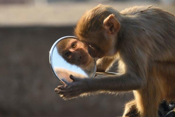 Monkey in mirror