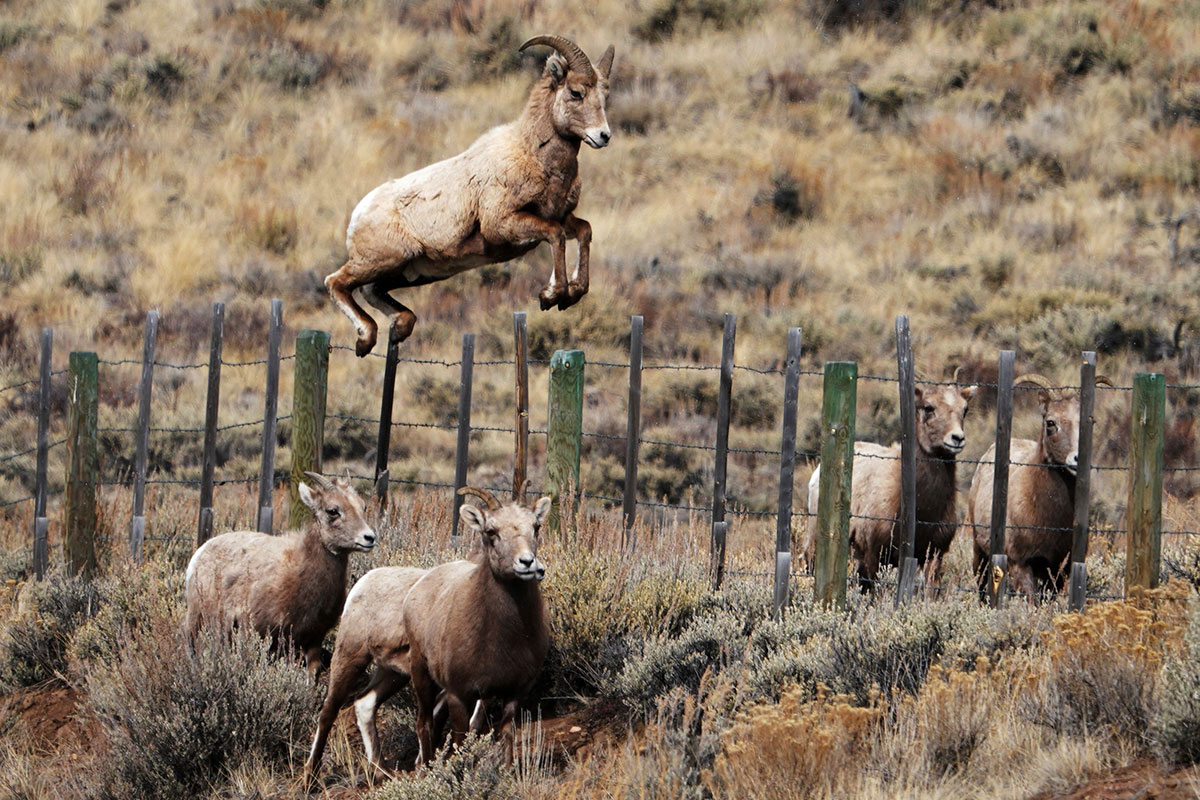 Moose and sheep pass down their migration routes through culture