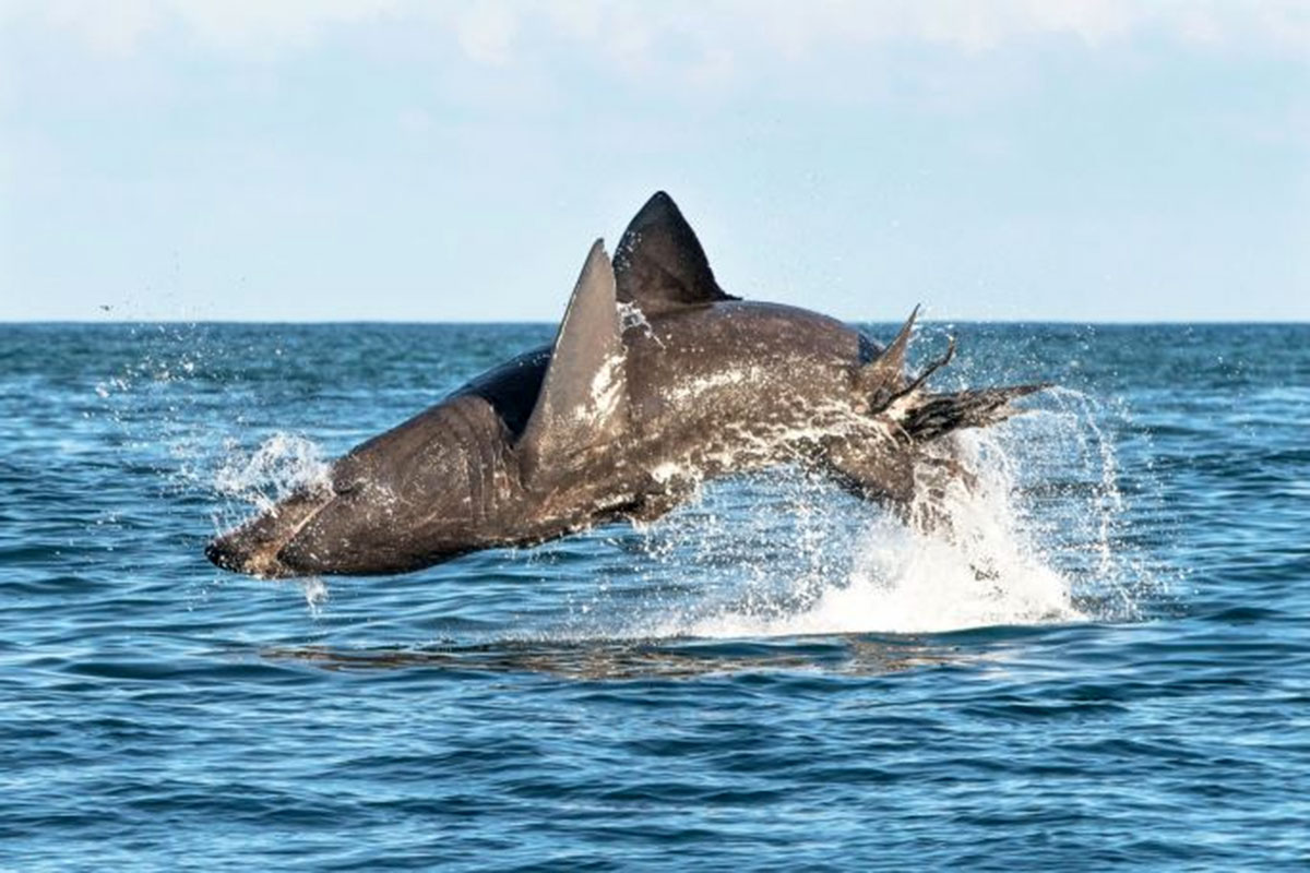 Peaceful basking sharks can leap just as powerfully as great whites