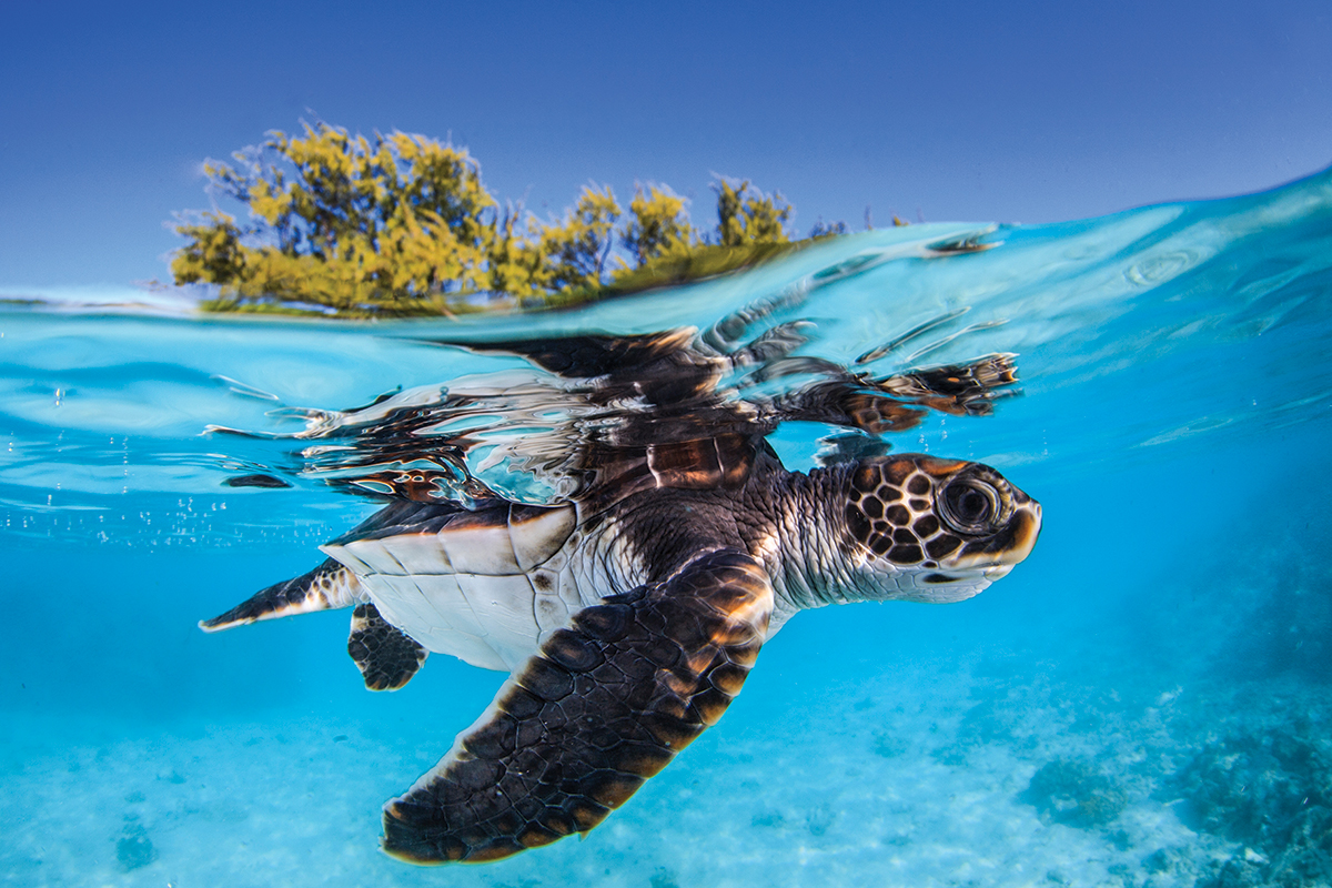 Blue baby turtles - photo#33