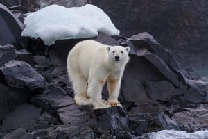 A polar bear on a rock