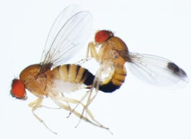 copulating flies