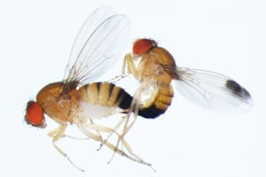 newCopulating-pair-of-Drosophila-suzukii_400dpi